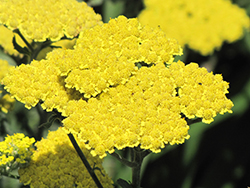 Moonshine Yarrow (Achillea 'Moonshine') at Jolly Lane Greenhouse