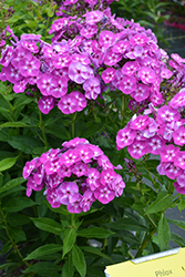 Laura Garden Phlox (Phlox paniculata 'Laura') at Jolly Lane Greenhouse