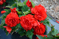 Nonstop® Red Begonia (Begonia 'Nonstop Red') at Jolly Lane Greenhouse