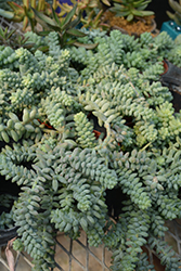 Burro's Tail (Sedum morganianum) at Jolly Lane Greenhouse