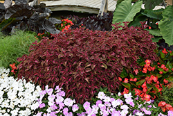 ColorBlaze® Velveteen® Coleus (Solenostemon scutellarioides 'Velveteen') at Jolly Lane Greenhouse