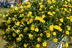 MiniFamous® Double Deep Yellow Calibrachoa (Calibrachoa 'MiniFamous Double Deep Yellow') at Jolly Lane Greenhouse