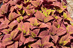 ColorBlaze® Royal Glissade® Coleus (Solenostemon scutellarioides 'Royal Glissade') at Jolly Lane Greenhouse