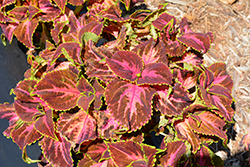 Superfine Rainbow Festive Dance Coleus (Solenostemon scutellarioides 'Rainbow Festive Dance') at Jolly Lane Greenhouse