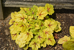 Catching Fire Foamy Bells (Heucherella 'Catching Fire') at Jolly Lane Greenhouse