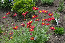 Robinson's Red Painted Daisy (Tanacetum coccineum 'Robinson's Red') at Jolly Lane Greenhouse