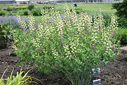 Decadence® Deluxe Pink Lemonade False Indigo (Baptisia 'Pink Lemonade') at Jolly Lane Greenhouse