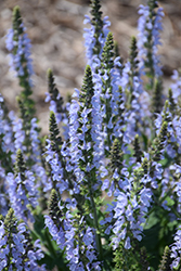 Color Spires® Crystal Blue Sage (Salvia nemorosa 'Crystal Blue') at Jolly Lane Greenhouse