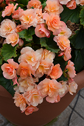 Solenia® Apricot Begonia (Begonia 'Solenia Apricot') at Jolly Lane Greenhouse