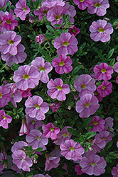Aloha Kona Soft Pink Calibrachoa (Calibrachoa 'Aloha Kona Soft Pink') at Jolly Lane Greenhouse
