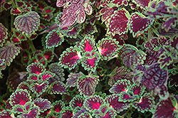 Lava Rose Coleus (Solenostemon scutellarioides 'Lava Rose') at Jolly Lane Greenhouse