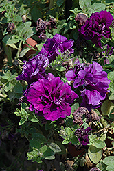 Double Wave Blue Velvet Petunia (Petunia 'Double Wave Blue Velvet') at Jolly Lane Greenhouse