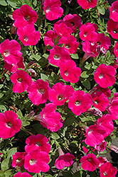 Piccola Hot Pink Petunia (Petunia 'Piccola Hot Pink') at Jolly Lane Greenhouse