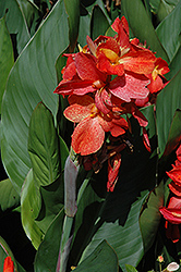 South Pacific™ Scarlet Canna (Canna 'South Pacific Scarlet') at Jolly Lane Greenhouse