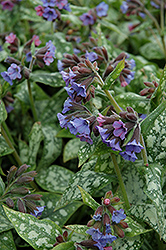 High Contrast Lungwort (Pulmonaria 'High Contrast') at Jolly Lane Greenhouse