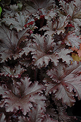 Black Taffeta Coral Bells (Heuchera 'Black Taffeta') at Jolly Lane Greenhouse