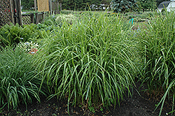 Porcupine Grass (Miscanthus sinensis 'Strictus') at Jolly Lane Greenhouse