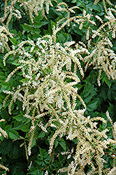 Misty Lace Goatsbeard (Aruncus 'Misty Lace') at Jolly Lane Greenhouse