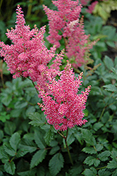 Rheinland Astilbe (Astilbe japonica 'Rheinland') at Jolly Lane Greenhouse