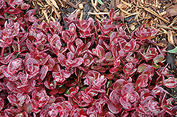 Cherry Tart Stonecrop (Sedum 'Cherry Tart') at Jolly Lane Greenhouse