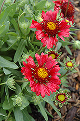 Burgundy Blanket Flower (Gaillardia x grandiflora 'Burgundy') at Jolly Lane Greenhouse