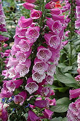 Dalmatian Purple Foxglove (Digitalis purpurea 'Dalmatian Purple') at Jolly Lane Greenhouse