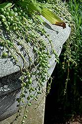 String Of Pearls (Senecio rowleyanus) at Jolly Lane Greenhouse