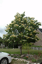 Japanese Tree Lilac (Syringa reticulata) at Jolly Lane Greenhouse
