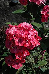 Garden Girls™ Glamour Girl Garden Phlox (Phlox paniculata 'Glamour Girl') at Jolly Lane Greenhouse