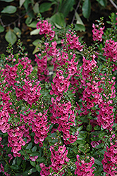 Archangel™ Dark Rose Angelonia (Angelonia angustifolia 'Archangel Dark Rose') at Jolly Lane Greenhouse