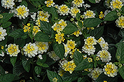 Lucky™ Lemon Glow Lantana (Lantana camara 'Lucky Lemon Glow') at Jolly Lane Greenhouse