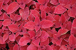 Redhead Coleus (Solenostemon scutellarioides 'Redhead') at Jolly Lane Greenhouse