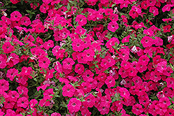 Tidal Wave Hot Pink Petunia (Petunia 'Tidal Wave Hot Pink') at Jolly Lane Greenhouse
