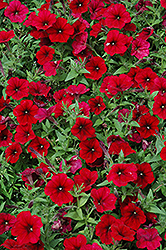 Easy Wave Red Velour Petunia (Petunia 'Easy Wave Pink Passion') at Jolly Lane Greenhouse