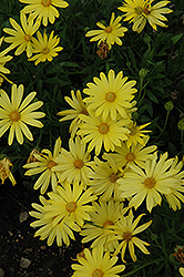 Voltage™ Yellow African Daisy (Osteospermum 'Voltage Yellow') at Jolly Lane Greenhouse