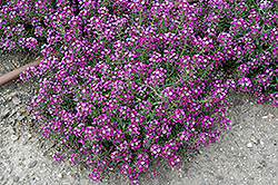 Clear Crystal Purple Shades Sweet Alyssum (Lobularia maritima 'Clear Crystal Purple Shades') at Jolly Lane Greenhouse
