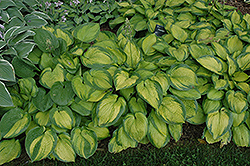 Paradigm Hosta (Hosta 'Paradigm') at Jolly Lane Greenhouse