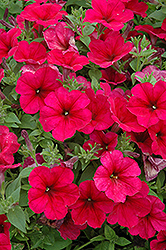 Easy Wave® Berry Velour Petunia (Petunia 'Easy Wave Berry Velour') at Jolly Lane Greenhouse