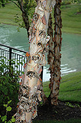 River Birch (Betula nigra) at Jolly Lane Greenhouse