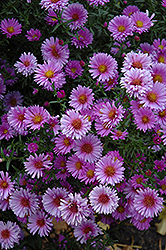 Purple Dome Aster (Aster novae-angliae 'Purple Dome') at Jolly Lane Greenhouse