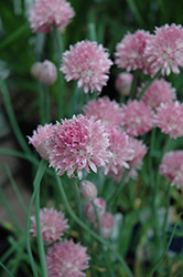Forescate Chives (Allium schoenoprasum 'Forescate') at Jolly Lane Greenhouse