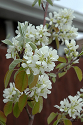 Standing Ovation™ Saskatoon Berry (Amelanchier alnifolia 'Obelisk') at Jolly Lane Greenhouse