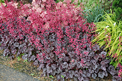 Glitter Coral Bells (Heuchera 'Glitter') at Jolly Lane Greenhouse