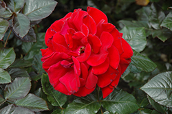 Drop Dead Red Rose (Rosa 'Drop Dead Red') at Jolly Lane Greenhouse