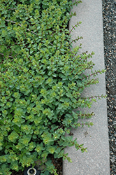 Lebanese Oregano (Origanum libanoticum) at Jolly Lane Greenhouse