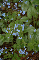 Alexander's Great Bugloss (Brunnera macrophylla 'Alexander's Great') at Jolly Lane Greenhouse