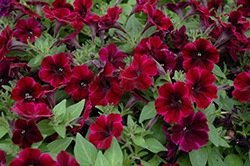 Sweetunia Johnny Flame Petunia (Petunia 'Sweetunia Johnny Flame') at Jolly Lane Greenhouse