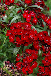 Dash Crimson Sweet William (Dianthus barbatus 'Dash Crimson') at Jolly Lane Greenhouse