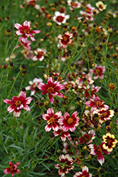 Berry Chiffon Tickseed (Coreopsis 'Berry Chiffon') at Jolly Lane Greenhouse