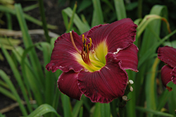 Bela Lugosi Daylily (Hemerocallis 'Bela Lugosi') at Jolly Lane Greenhouse